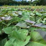 減農薬で栽培!種子島のすぐ隣に位置する屋久島だからこそおいしい。