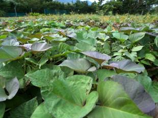 減農薬だから葉は虫がおいしそうに・・・