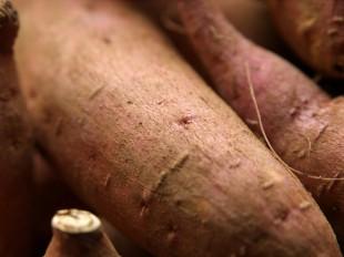 収穫した安納芋