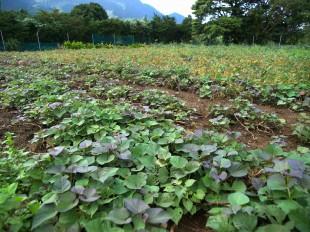 安納芋の畑です