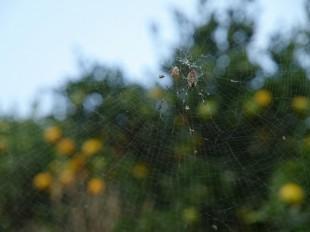 クモが害虫をたくさん食べてくれます