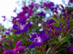 野牡丹の花が満開です