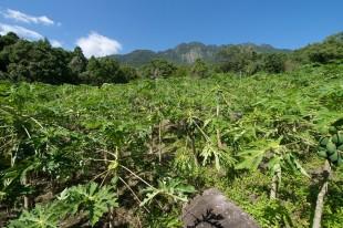 パパイヤ農園の風景