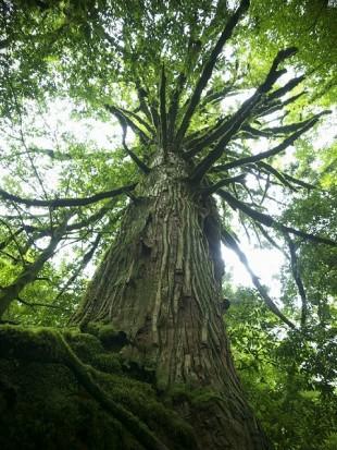 千年以上の杉だけが屋久杉と呼ばれる